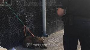 La perra pitbull recuperada en el barrio de Torreblanca tenía el chip puesto por su propietaria