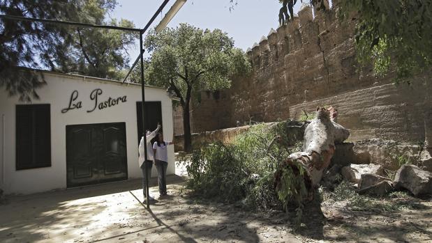 La enorme rama del eucalipto que ha caído este viernes en la zona ajardinada del bar «La Pastora»