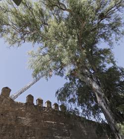 El eucalipto será apeado