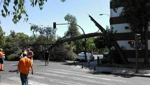 Árbol de gran porte que se ha caído este sábado sobre la avenida de La Oliva