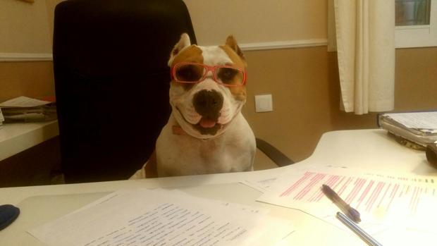 Raisa es una perra Staffordshire Bull Terrier que en febrero cumplirá 4 años