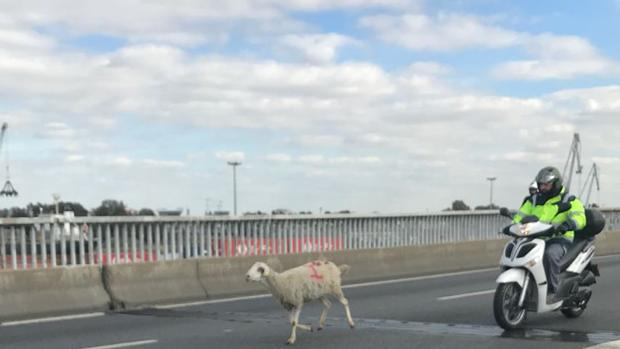 La oveja que ha motivado el caos en la SE-30