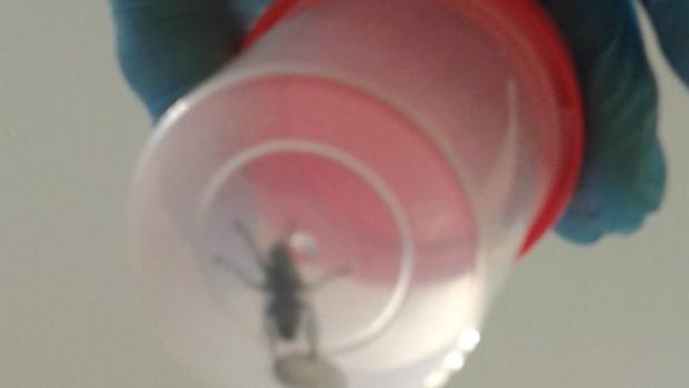 Uno de los moscardones que han aparecido en los quirófanos, según el Sindicato Médico de Sevilla