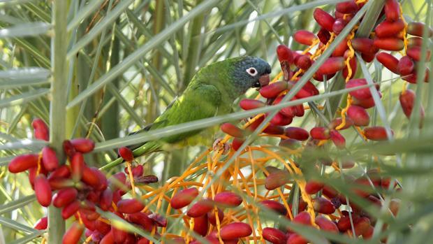 El número de nidos de cotorra de Kramer se ha multiplicado por 20 en 14 años en el Parque de María Luisa