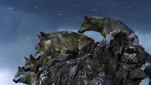 Los lobos y su benefactora «ecología del miedo» para la biodiversidad