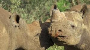 Aumenta la caza furtiva de rinocerontes en África