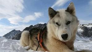 Mascotas: El «Desafío Ártico» del perro groenlandés