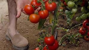 En análisis una partida de tomates de Almería