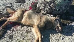Tres detenidos por matar a dos lobos ibéricos en Ávila durante una montería