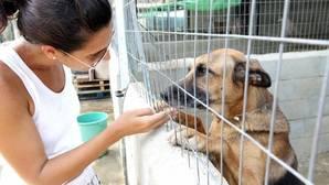 Casi la mitad de los perros recogidos en España por protectoras de animales son adoptados después