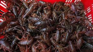 La avispa asiática, el cangrejo rojo y el jacinto de agua, en la «lista negra» europea de especies invasoras