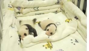 Los dos nuevos oseznos de panda, el último fenómeno en Macao