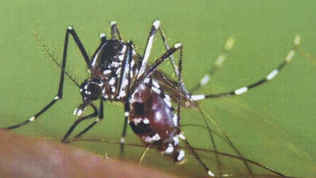 El mosquito tigre es uno de los vectores que pueden transmitir la infección