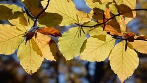 Los bosques europeos producen más semillas cuando la primavera es seca y cálida