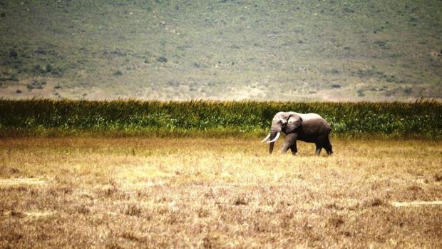 Fotografía facilitada por la Universidad James Cook de Australia de un elefante en un paraje natural en el norte de Tanzania