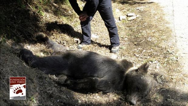 Fotografía facilitada por la Fundación Oso Pardo del oso pardo que ayer fue encontrado por unos turistas en muy cerca de la entrada a la Reserva Natural Integral de Muniellos