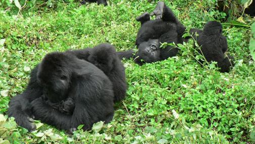 Gorilas en el Parque Nacional de las Montañas de Virunga