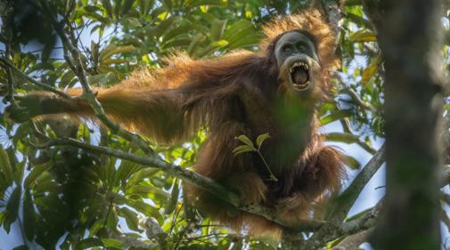 La imagen muestra un orangután de Sumatra en el parque forestal Batang Toru, en Sumatra del Norte, Indonesia