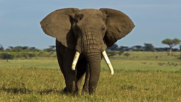 En los últimos años la demanda de marfil ilegal ha aumentado notablemente, lo que se ha traducido en un descenso drástico de la población de elefantes
