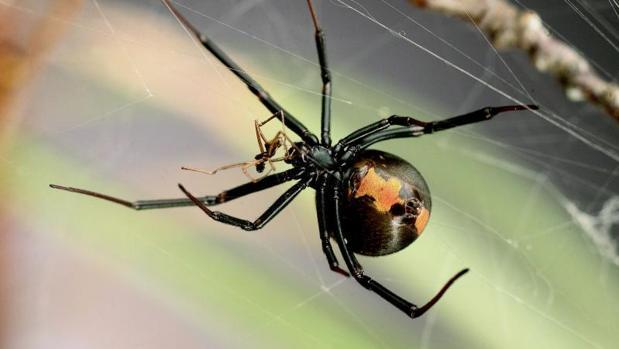 La araña de «espalda roja», un insecto muy común en Australia