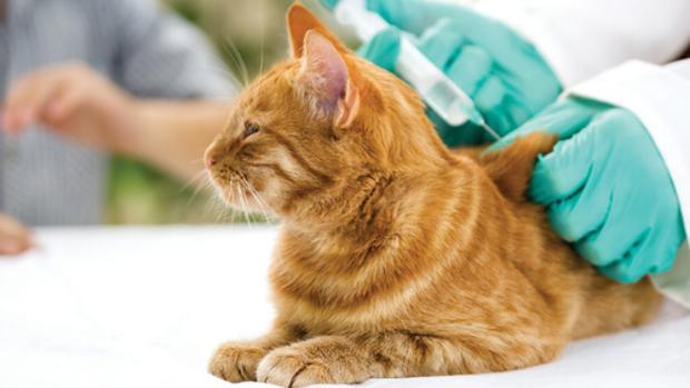 Mascotas: Parásitos externos del gato, todo lo que necesita saber