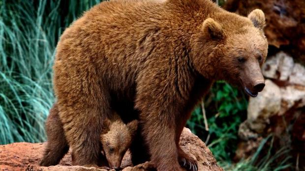 La asociación pide a la Administración regional de Asturias que no retire los cadávares de otros animales de la zona, ya que también sirven como alimento para los osos pardos
