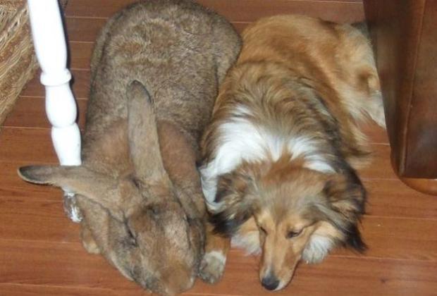 Un conejo gigante, junto a un perro