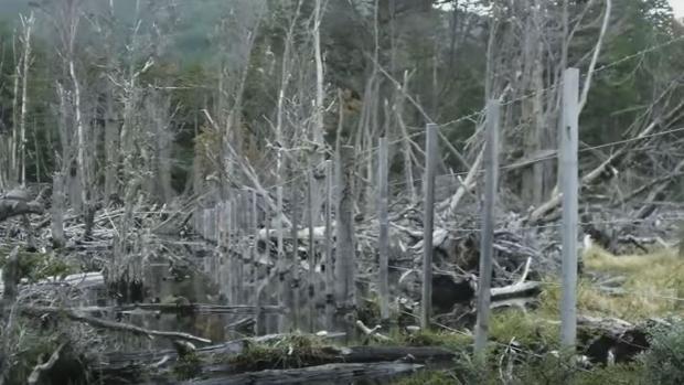 Así quedan los árboles en Tierra del Fuego tras el paso de los castores
