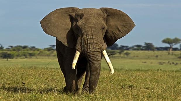 Gabón es la «residencia» todavía de unos 45.000 elefantes