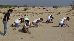 Voluntarios de SEO/BirdLife retiran perdigones de plomo en el Cerro de las Ánsares en el Parque Nacional de Doñana (Huelva)