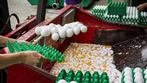 Los siete países implicados desechan en masa partidas de huevos contaminados
