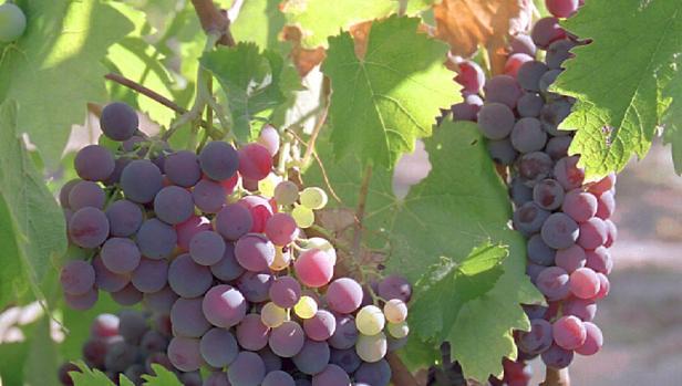 Racimo de uva del campo de Cariñena