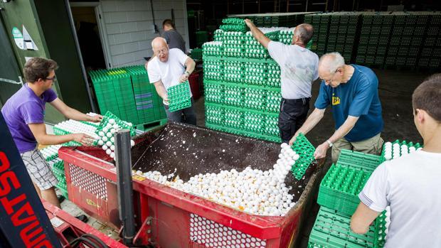 Trabajadores desechan partidas de huevos contaminadas en Holanda