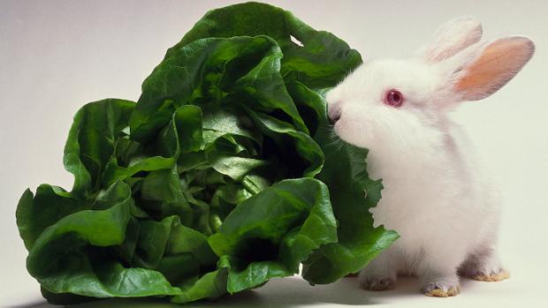 Un conejo, junto a un manojo de lechuga