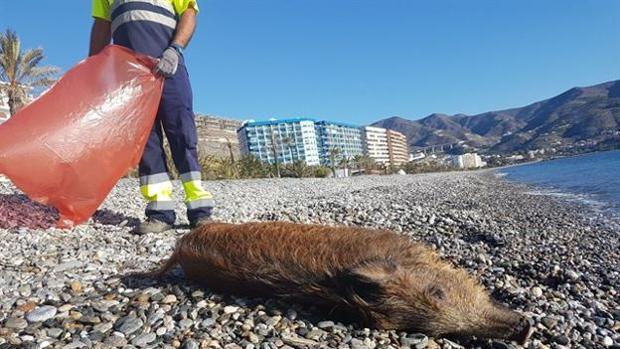 Jabalí hallado muerto en Almuñécar