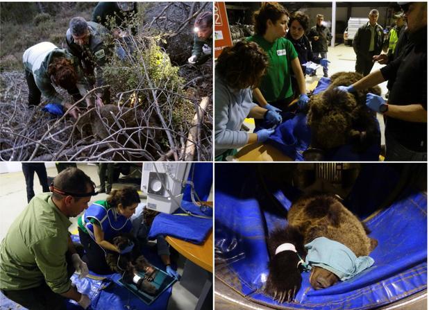 Combo de fotografías facilitadas por el Gobierno de Cantabria del rescate de un osezno herido en las proximidades del pueblo de Cambarco (Cabezón de Liébana). El osezno herido que vagaba por Liébana, ya está en el Centro de Recuperación de Fauna Silvestre de Cantabria, en Villaescusa