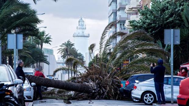 Palmera caída sobre tres vehículos en el Paseo Marítimo de la ciudad de Málaga,
