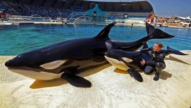 Las orcas Wikie y Moana (L) and Moana con su entrenadora Amy