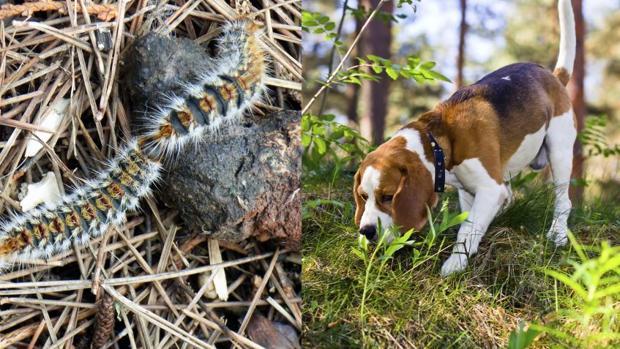 Las procesionarias pueden ser muy peligrosas para los perros si las ingieren