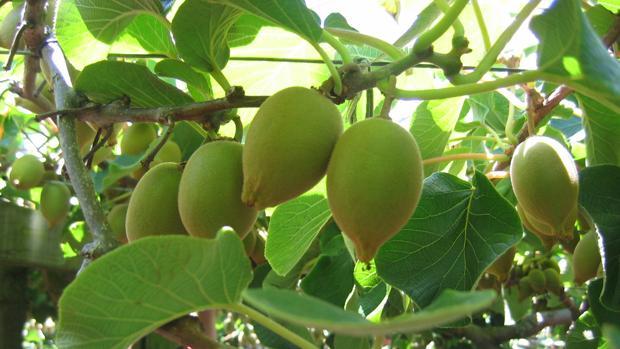 Plantación de kiwi