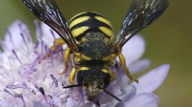 Las abejas silvestres son esenciales en el proceso de polinización