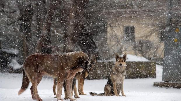 Varios perros esperan sobre la nieve en la localidad cántabra de La Lomba, cuya comunidad se encuentra en alerta naranja por nevadas. La Agencia Estatal de Meteorología (Aemet) prevé en Cantabria cielo cubierto con precipitaciones localmente fuertes y persistentes