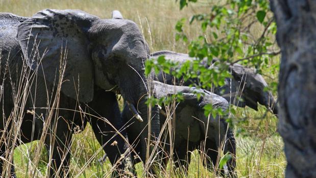 Un grupo de elefantes en el delta Okavango en Botsuana