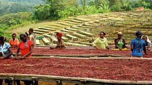 Cómo un pastor y unos monjes descubrieron el café en África