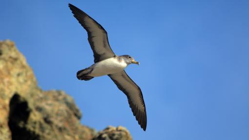 Fotografía de una pardela cenicienta sobrevolando la Isla Salvaje Pequeña (Portugal)