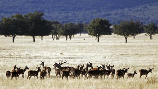Ciervos en el Parque Nacional de Cabañeros