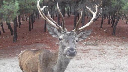Un ciervo en los montes de El Pardo