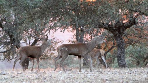 Ejemplares de ciervo en plena berrea, en el Parque Nacional de Monfragüe