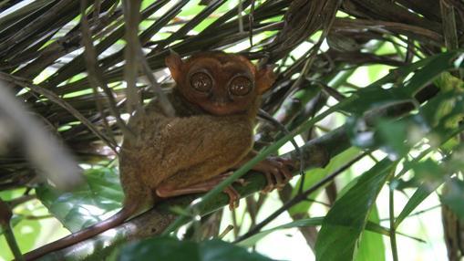 Una de las especies exóticas que uno puede encuentrarse en Bohol