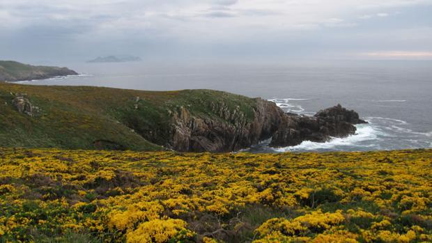 Floración de los tojos en la costa atlántica española